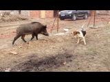 кунхаунд по кабану.лучшая медвежатница...Лайма