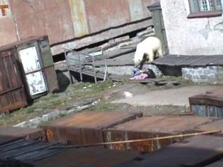 Человек и медведь Мыс Шмидта (дура баба)