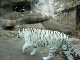 Бенгальский Тигр. Московский зоопарк. октябрь 2015