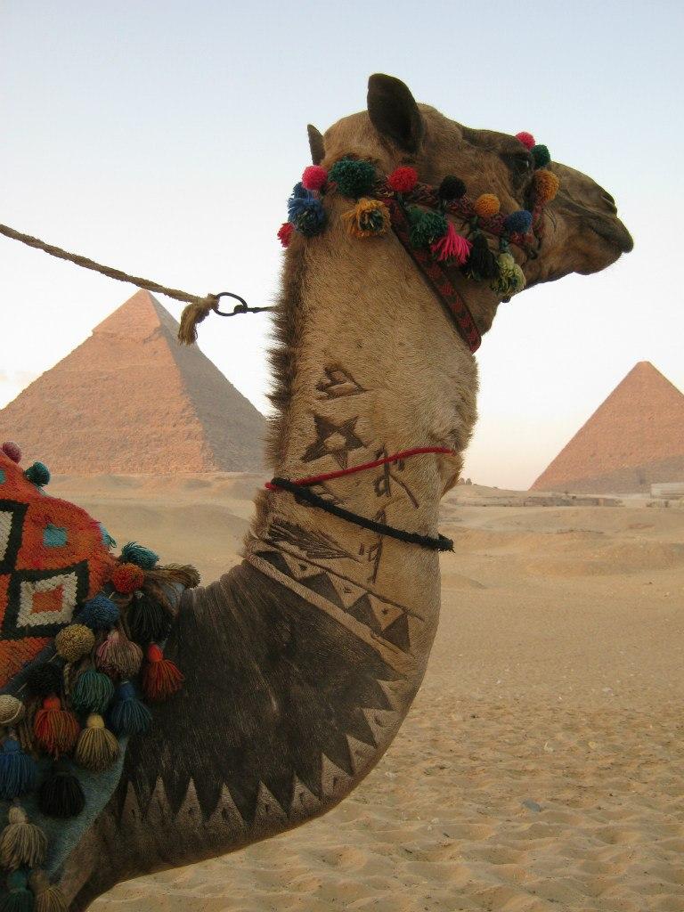 Верблюды на египетских пирамидах