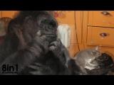 Горилла Коко считает котят своими детьми / Koko the gorilla adopts two kittens as babies