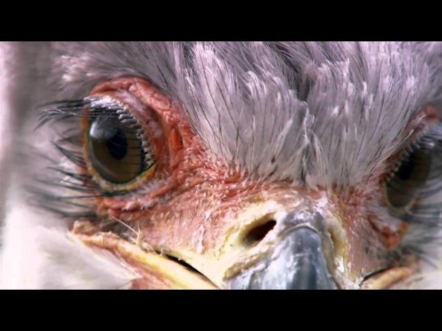 Странная птица-секретарь [HD]