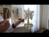 ЗБМК - скелет туловища - 8`