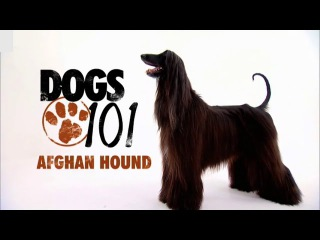 an analysis of my afghan hound story