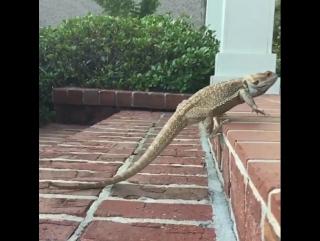 Slow mo lizard