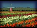 Голландские тюльпаны Фантастическая красота Поля тюльпанов