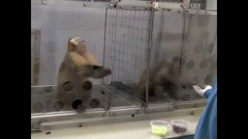 Мартышки капуцины в опытах по оценки чувства справедливости