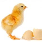 Как вывести инкубационное яйцо бройлера - фото видео