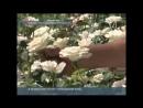 Казахи выращивают голландские розы