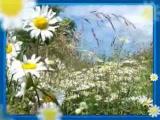 Кватро.Ромашковые поля
