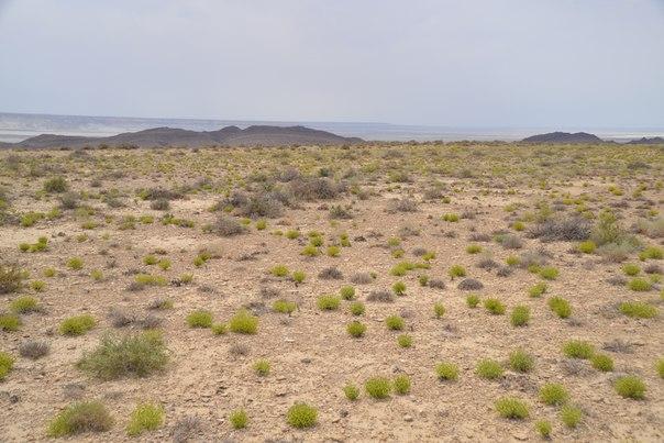 Растительный покров плато Устюрт