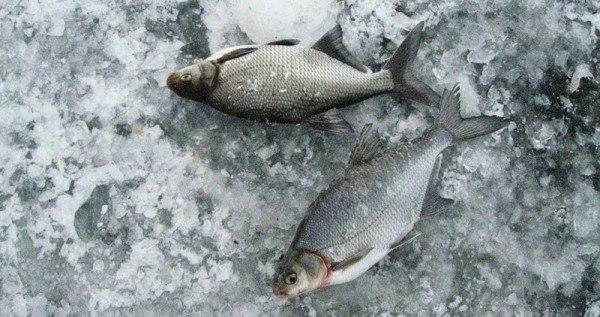 полезные советы по ловле леща зимой
