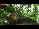 ТВОИ НОВОСТИ СЕГОДНЯ 8 11 2014 В Индии огромные стаи макак хозяйничают в крупных городах