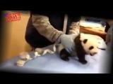 Прикол Маленькая Панда Кричит Как Маленький Ребенок Очень смешно Small panda cries like a baby  HD