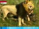 PAMIR TV - 24 В Южной Африке дикие львы приняли в свой прайд человека !!