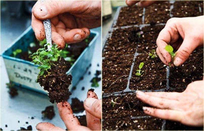 5 шагов к здоровой крепкой рассаде