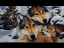 """Алмазная мозаика """"Волки"""". Готовая  работа"""