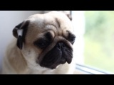 Как правильно заклеивать уши мопсу и зачем // Correction shape of pug's ears