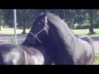 Amazing Horses: Friesians | Красивые лошади: фризы