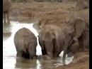 A MOTHER ELEPHANT WITH THE HELP OF THE HERD RESCUES HER BABY