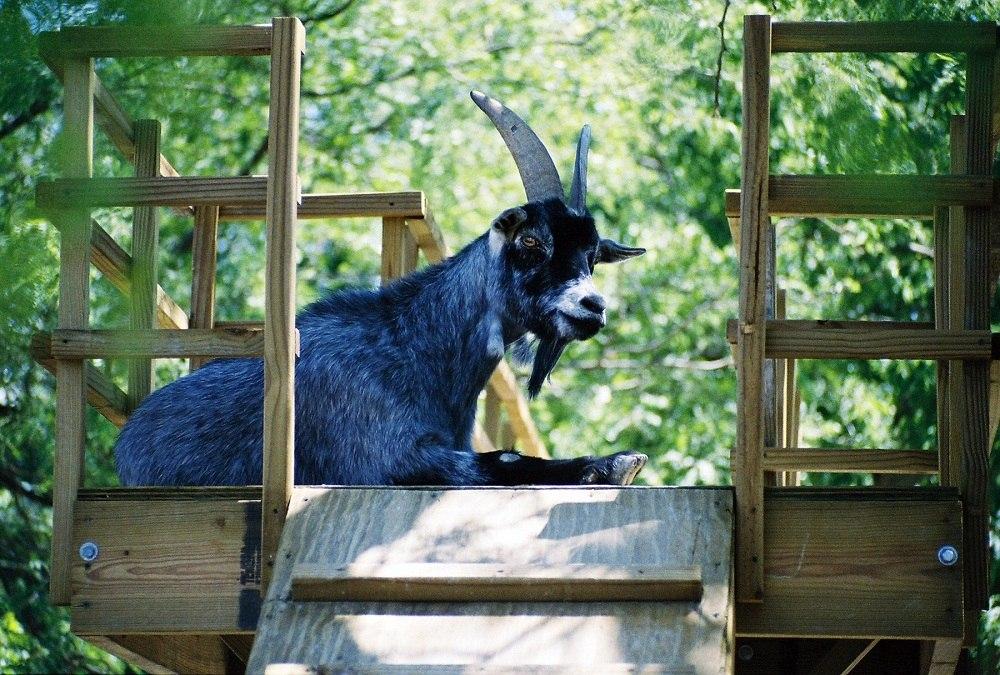 Костюм коза своими руками