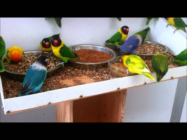 Masked lovebirds (Agapornis personatus) feeding ... again!