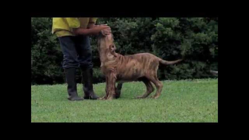Cachorros Fila Brasilero 4 meses Hacienda La Soledad Colombia