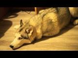 Хаски провинилась guilty husky