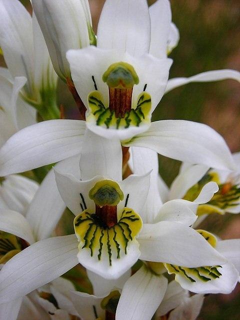 Удивительные орхидеи, необычная форма цветка