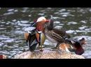 Разноцветная утка Мандаринка