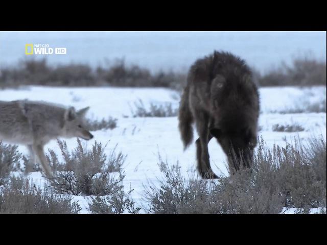 National Geographic: Восхождение чёрного волка