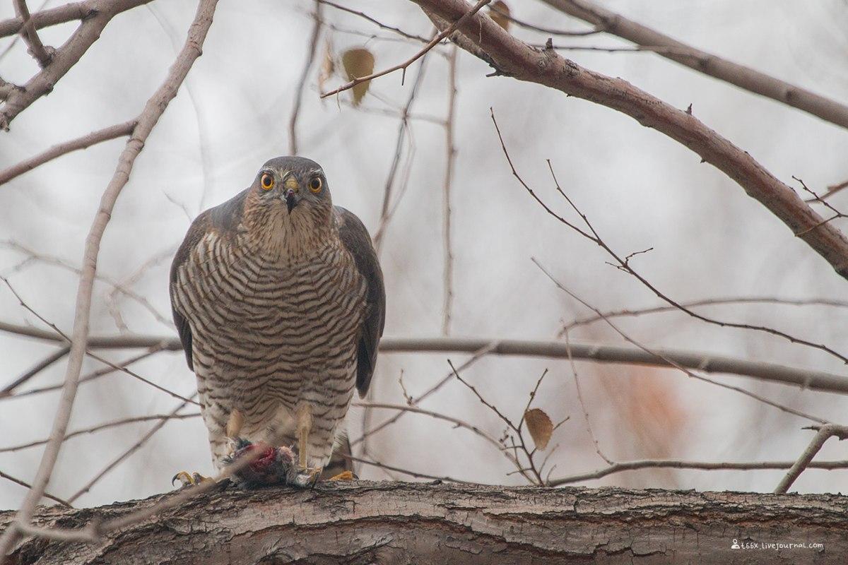 птицы Челябинска, перепелятник
