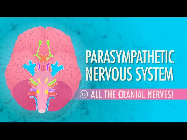 Parasympathetic Nervous System: Crash Course AP 15