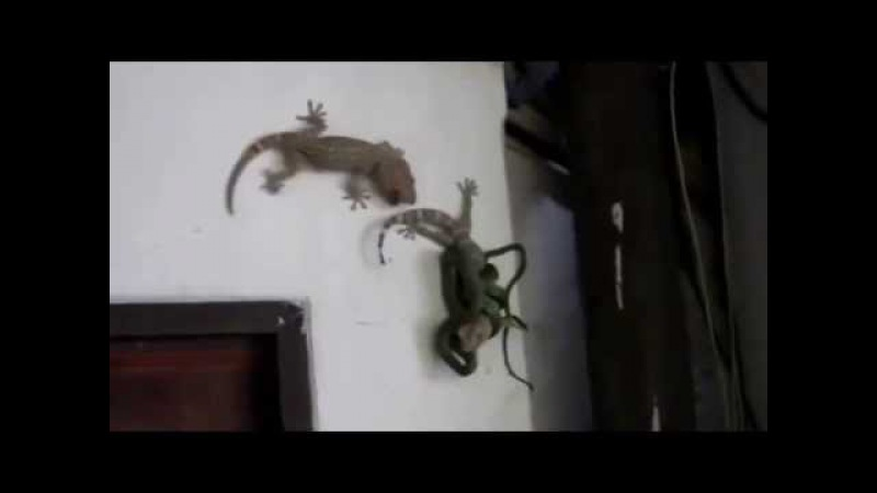 Геккон Токи спасает партнера от змеи