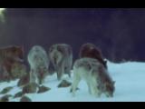 05-Плотоядные (BBC-Life Of Mammals)