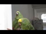 попугаи поют с душой
