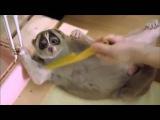 Лори самое милое животное в мире лемур лори смешные животные милое видео