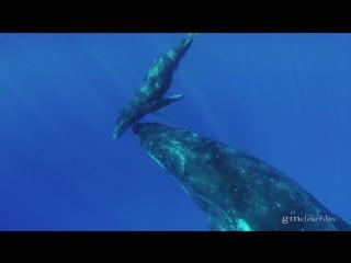 Une splendide baleine à bosse et son petit