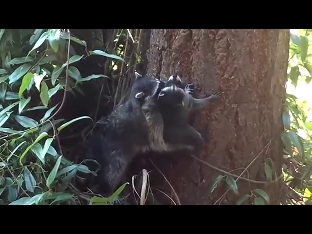 Мама енот учит детёныша лезть на деревоMother Raccoon teaches kid how to climb a tree