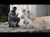 Casper.dogo argentino from Greece.Some trainning in progress.
