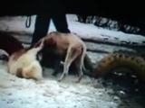 Собачьи бои американский бульдог Рокки vs КВ Акбай конец 23 минутного боя