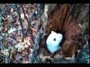 Белоснежный горностай выглядывает из дупла дерева
