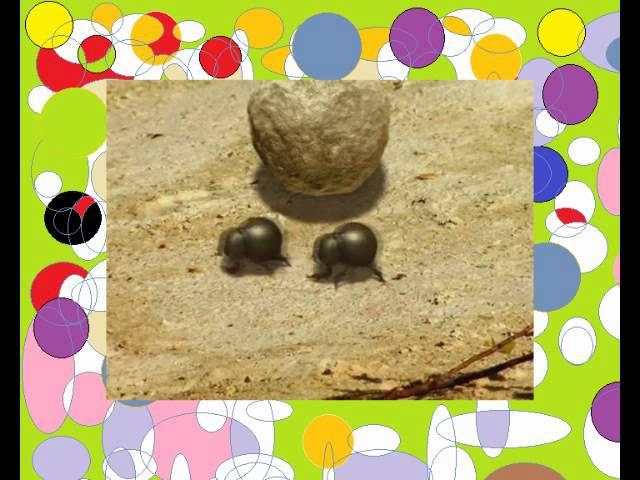 Насекомые букашки 15 Бой жуков навозников