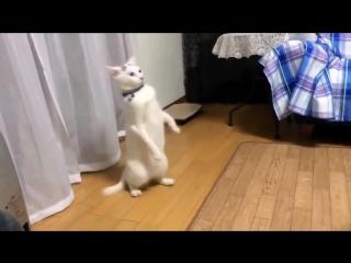 Кот научился ходить на задних лапах !