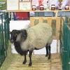 Купить овец и баранов