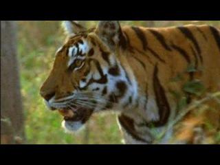 Твои весёлые друзья-зверята. Сериал для детей из 26 серий. 11 серия. Тигр.