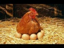 MAMAN POULE 1. Poule Pondeuse. Baby Chicks and Mother Hen. Over-Parenting
