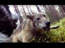 Волк атакует собаку с экшен камерой