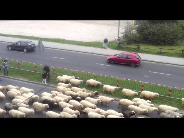 Przejście owiec przez Nowy Targ