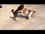 Собачьи бои американский бульдог (класик тип Джонсона) vs акита-ину (бойцовская)